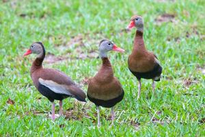 BLACK-BELLIED WHISTLING DUCKS: A NEW BIRD SPECIES FOR ABACO