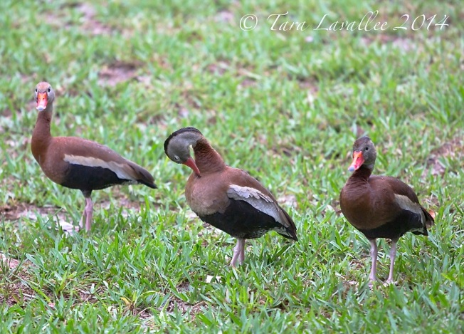 Black-bellied Whistling Ducks, Abaco (Tara Lavallee) 3