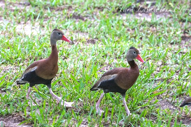 Black-bellied Whistling Ducks, Abaco (Tara Lavallee) 4