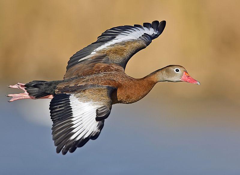 Black-bellied Whistling Duck Alan D. Wilson, www.naturespicsonline.com