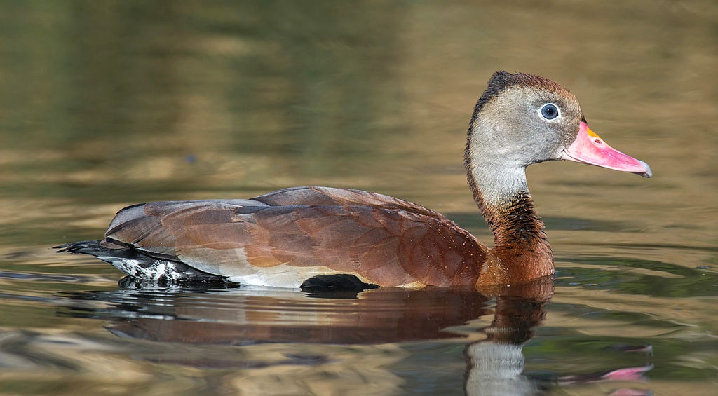Black-bellied Whistling Duck Dendrocygna autumnalis London_Wetland_Centre,_UK_-_Diliff