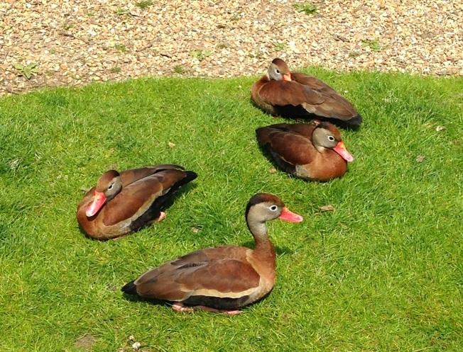 Black-bellied Whistling Ducks, Abaco : WWT - RH 2