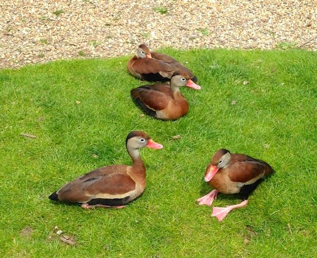 Black-bellied Whistling Ducks, Abaco : WWT - RH