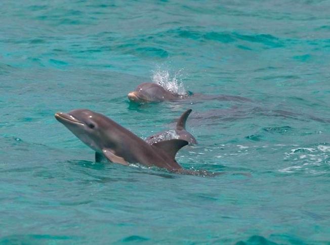 Bottlenose Dolphins Abaco BMMRO FV