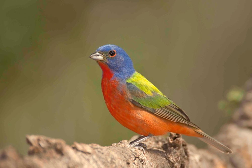 Painted Bunting male.Abaco Bahamas.Tom Sheley