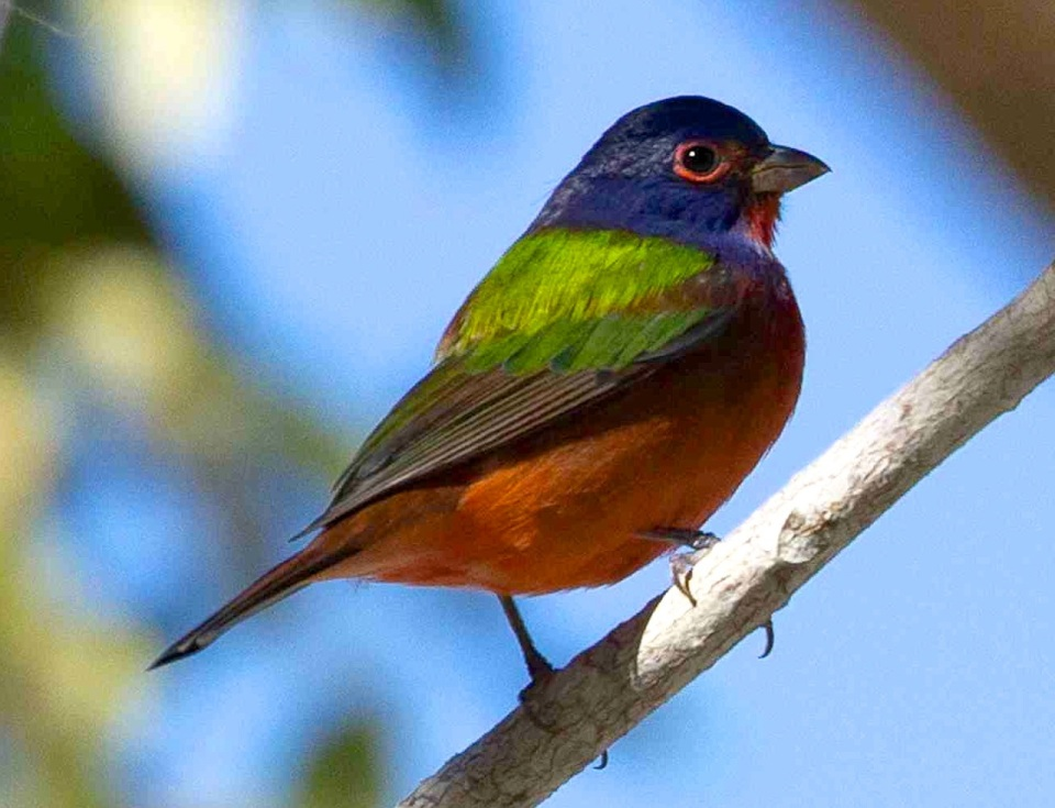 Painted Bunting , Abaco - Tara Lavallee