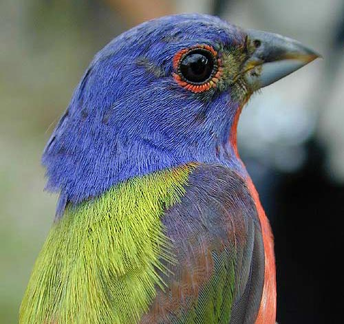 Painted Bunting, Abaco Bahamas (Tom Sheley)
