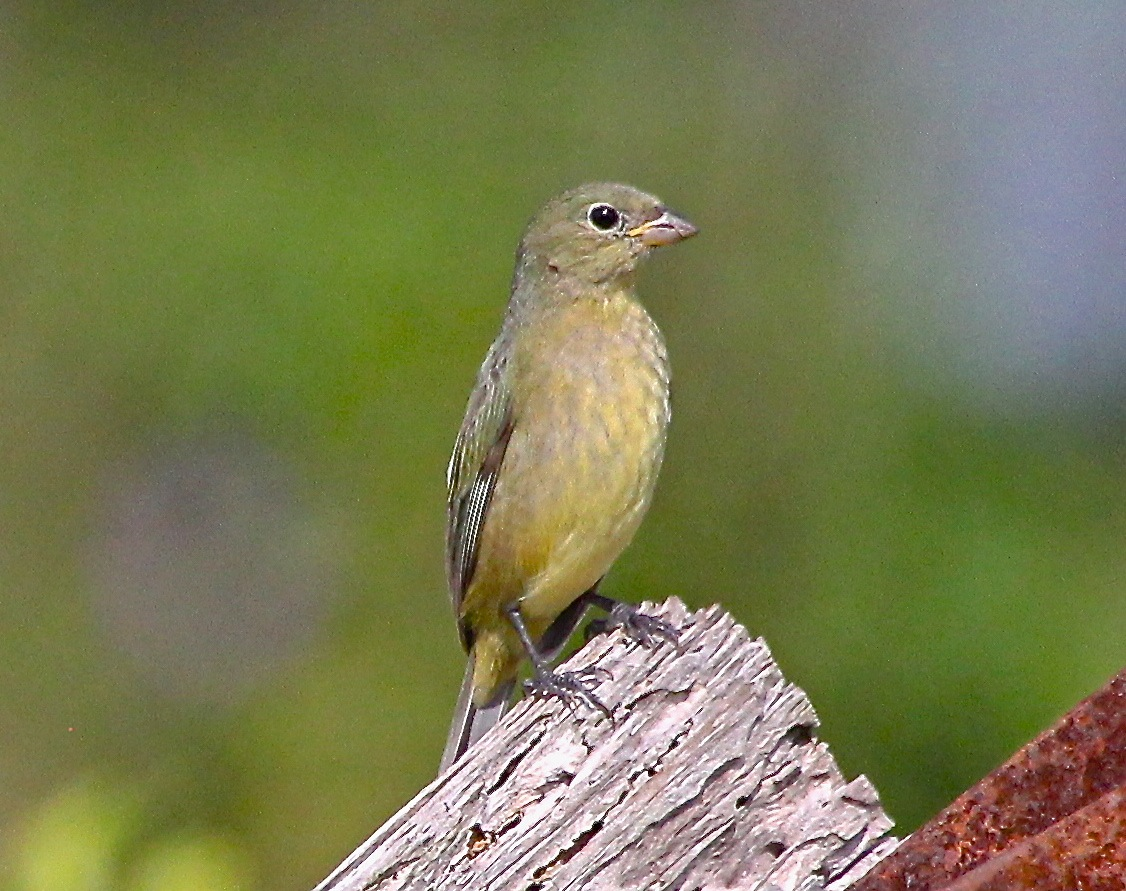 Juvenile painted bunting - photo#28