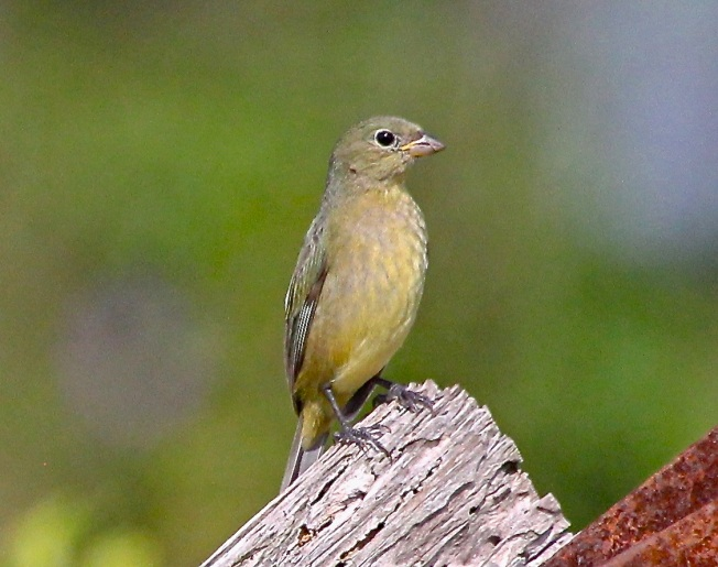 Painted Bunting (female, immature), Abaco (Bruce Hallett)