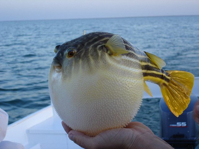 Puffer fish bahamas reef fish 19 rolling harbour abaco for Puffer fish facts