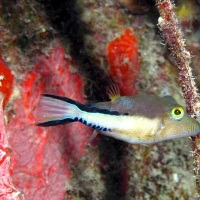 PUFFER FISH: BAHAMAS REEF FISH (19)