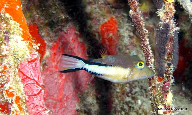 Sharpnose Puffer Fish