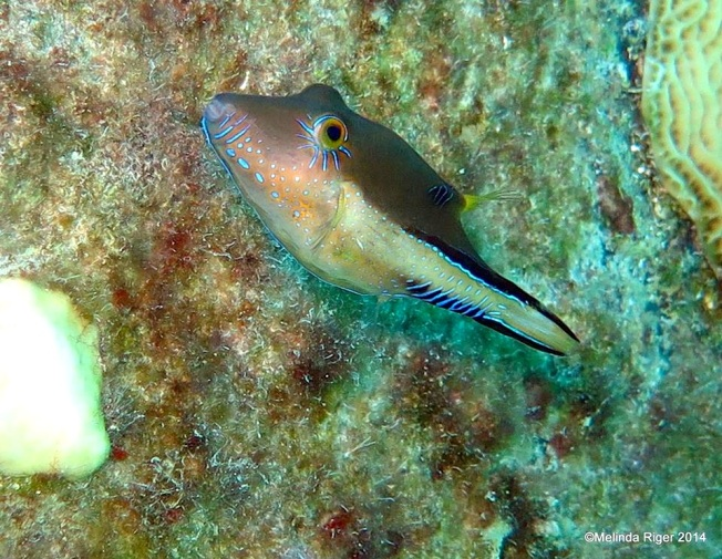Sharp Nose Puffer Fish ©Melinda Riger @GB Scuba