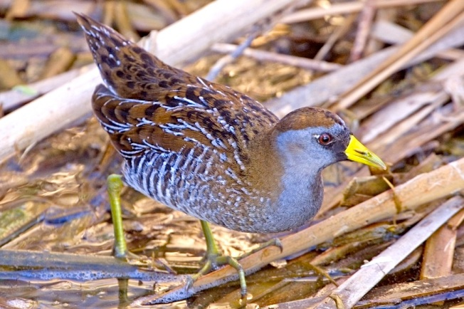 Sora, Birding Center, Port Aransas, Texas