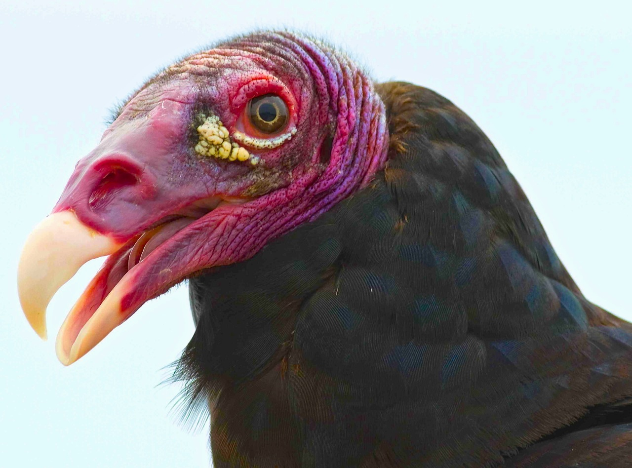 Turkey Vulture, Abaco - Craig Nash 1