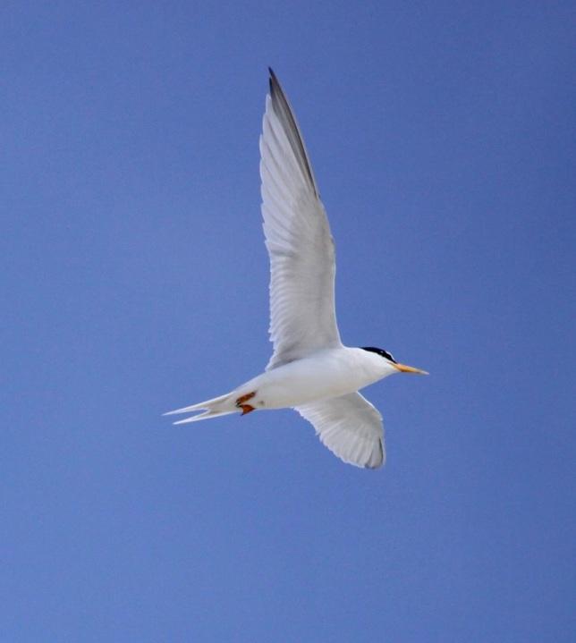 Least Tern, Abaco  (Susan Daughtrey)