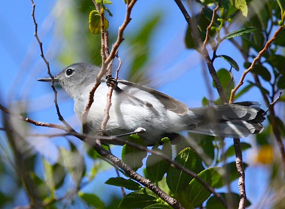 Blue-gray Gnatcatcher, Abaco  (Susan Daughtrey)