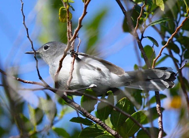 Blue-gray Gnatcatcher, Abaco  (Susan Daughtrey)