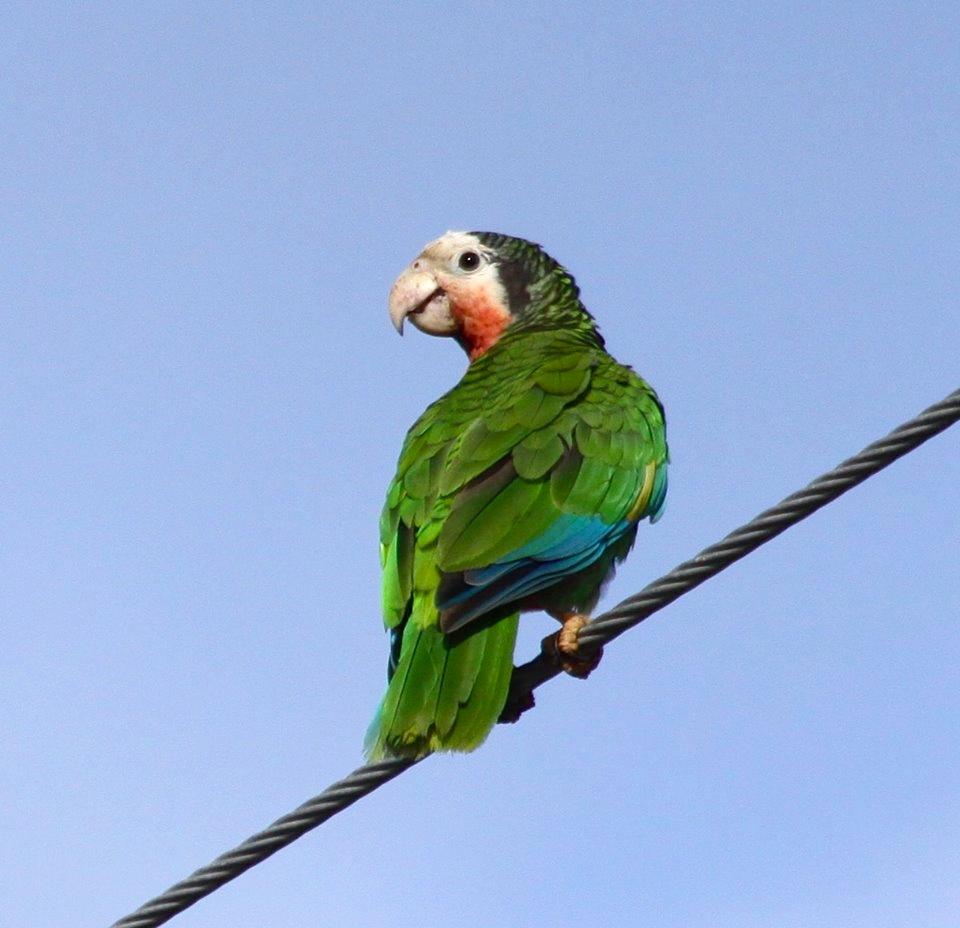 Amazon (Cuban) Parrot, Abaco (Susan Daughtrey)