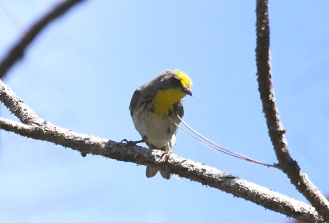 Olive-capped Warbler, Abaco  (Susan Daughtrey)