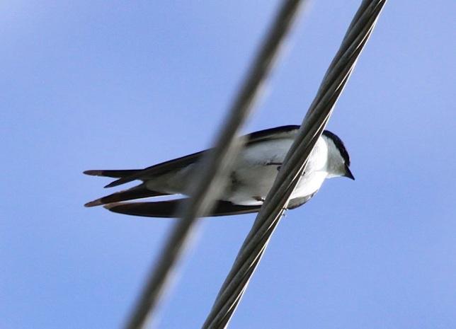 Bahama Swallow, Abaco  (Susan Daughtrey)
