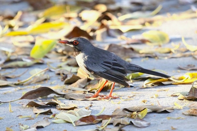 Red-legged Thrush, Abaco  (Susan Daughtrey)