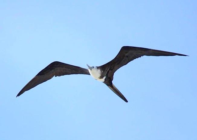 Magnificent Frigatebird, Abaco  (Susan Daughtrey)