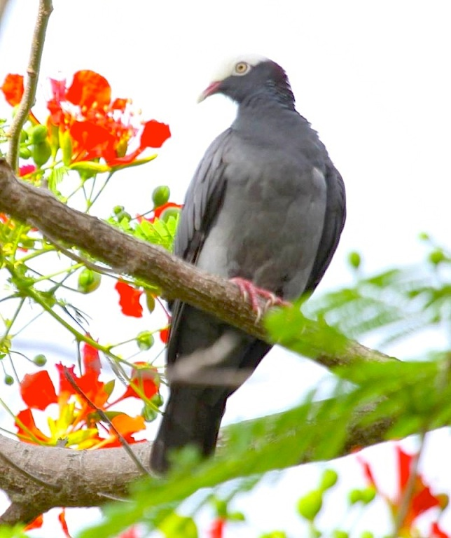 White-crowned Pigeon, Abaco  (Susan Daughtrey)