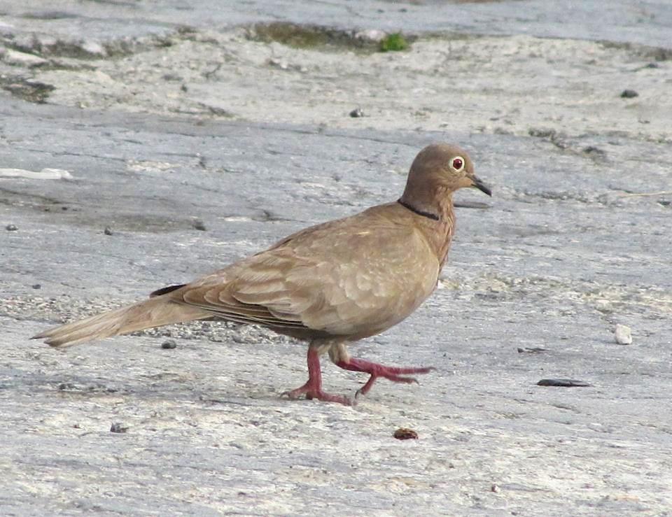 Eurasian Collared Dove, Abaco  (Susan Daughtrey)