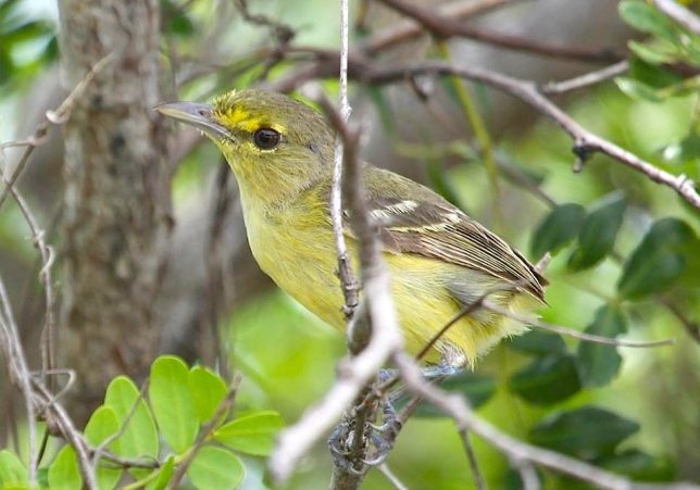 Thick-billed Vireo, Abaco  (Susan Daughtrey)