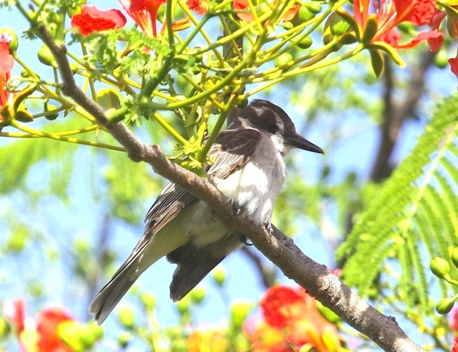 Loggerhead Kingbird, Abaco  (Susan Daughtrey)