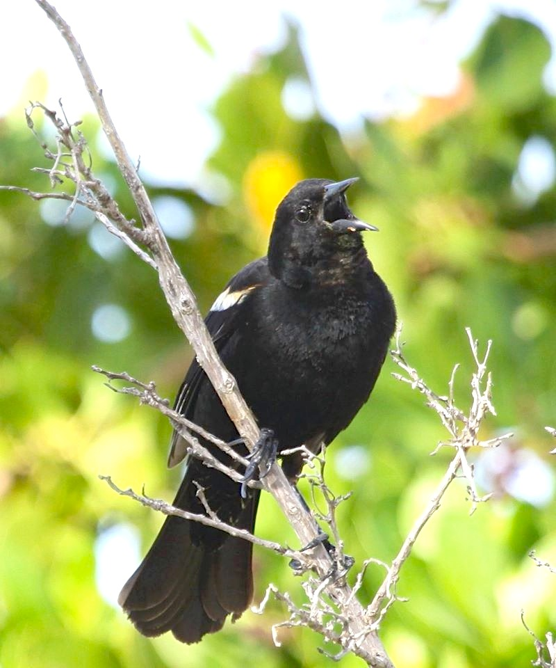 Red-winged Blackbird, Abaco  (Susan Daughtrey)