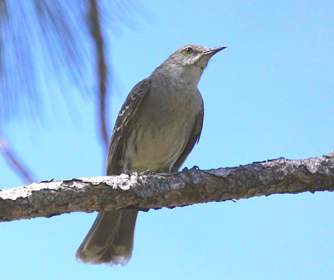 Bahama Mockingbird, Abaco  (Susan Daughtrey)