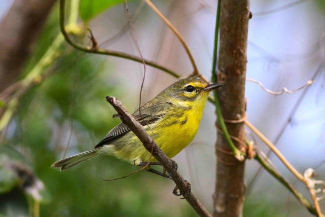 Bahamas-Great Abaco_Prairie Warbler_Gerlinde Taurer