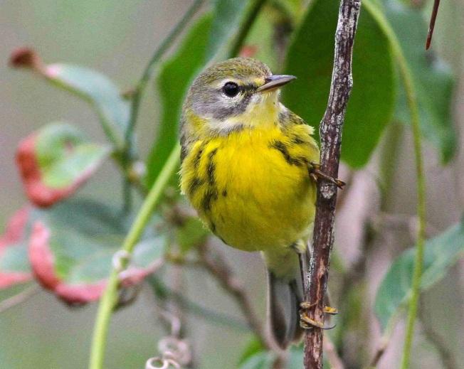 Prairie Warbler, Abaco, Bahamas (Gerlinde Taurer)