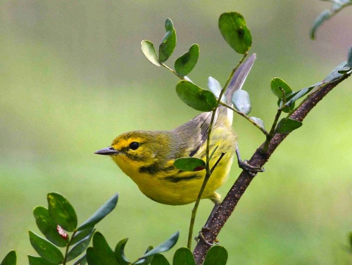 Bahamas-Great Abaco_6609_Prairie Warbler_Gerlinde Taurer copy 2