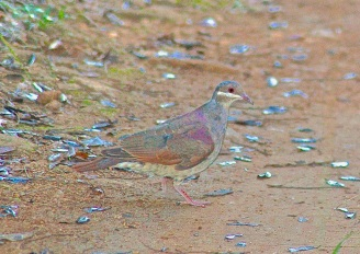 BAHAMAS - Key West Quail-dove (Becky Marvil)