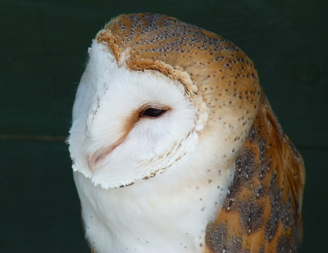 Barn Owl 2 (Keith Salvesen)