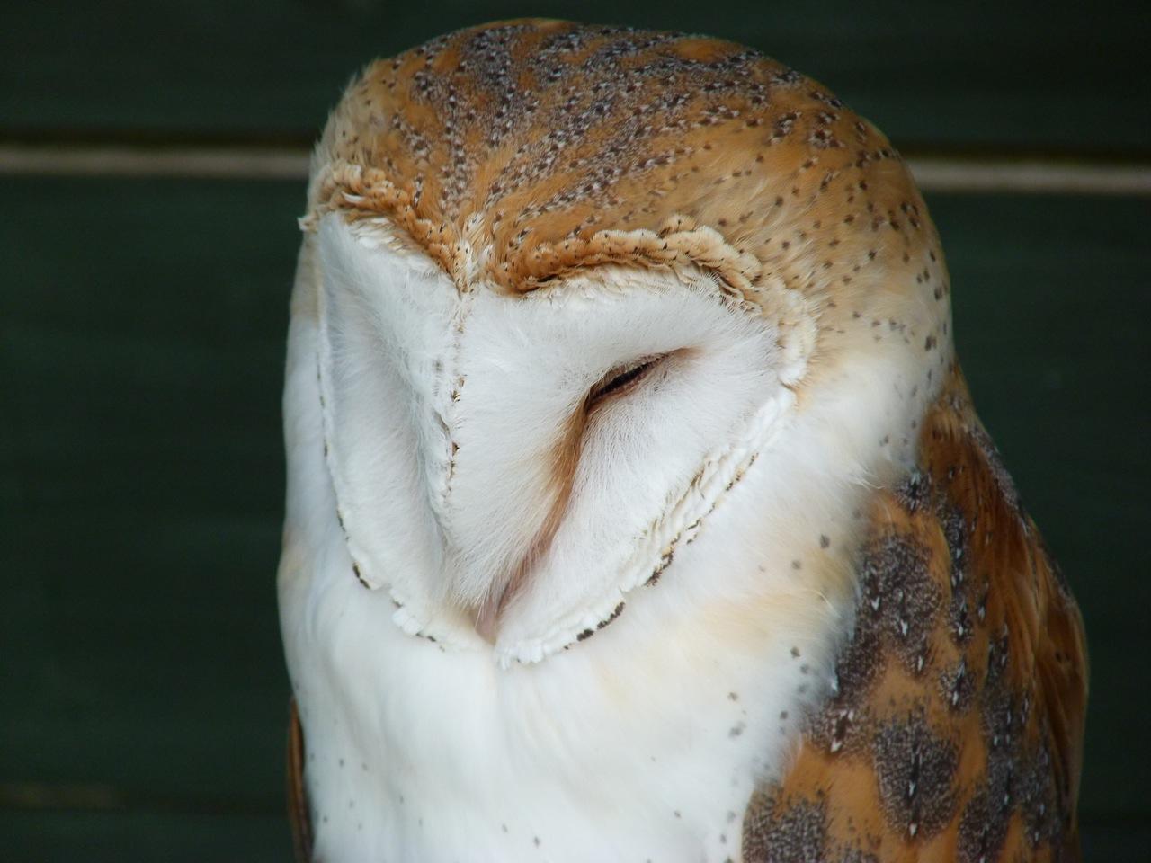 Barn Owl 4 (Keith Salvesen)