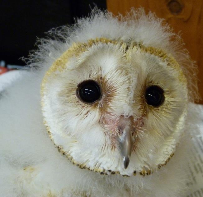 Barn Owl 6 (Keith Salvesen)
