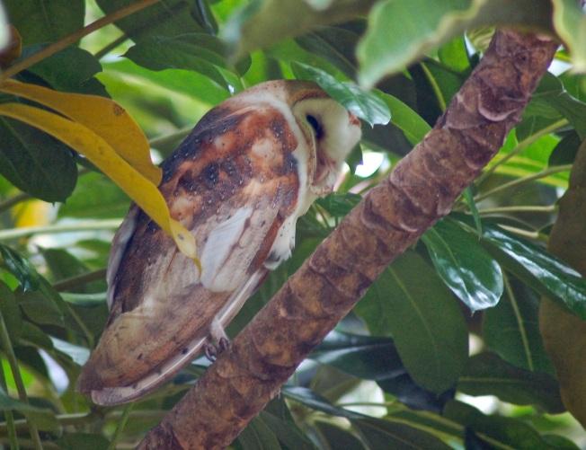 Barn Owl, Treasure Cay, Abaco Bahamas (Becky Marvil)