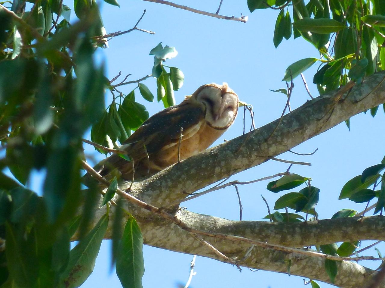 Barn Owl, Abaco Bahamas (Woody Bracey)