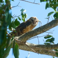 OWLS OF ABACO (1): THE BARN OWL