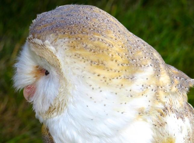 Barn Owl Dorset (Keith Salvesen)