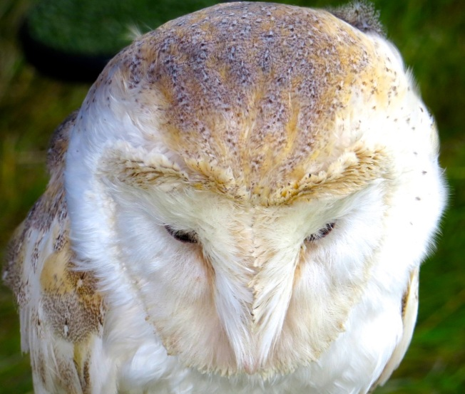 Barn Owl Dorset (Keith Salvesen)