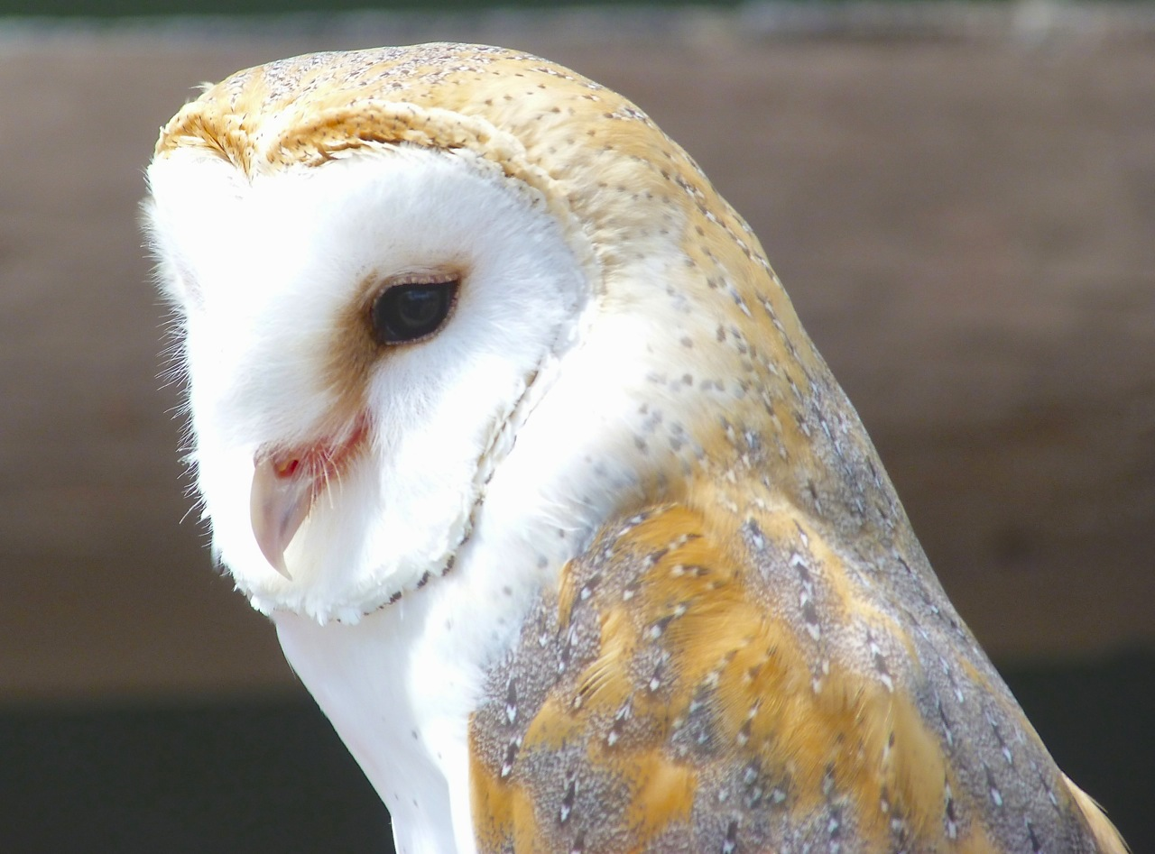 Barn Owl (Keith Salvesen)
