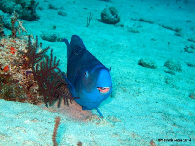 Blue Parrot Fish & Peterson Cleaner Shrimp ©Melinda Riger @ G B Scuba copy