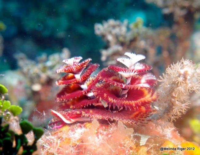 Christmas Tree Worms ©Melinda Riger @ G B Scuba copy