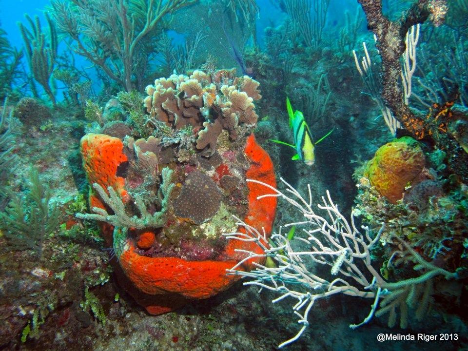 Coral ©Melinda Riger @ G B Scuba 2 copy