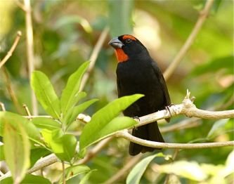 Greater Antillean Bullfinch, Abaco (Bruce Hallett)